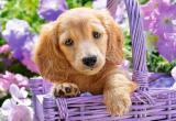 Castorland Puzzle 1000 Dílků Puppy In Basket