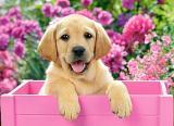 Castorland Puzzle 300 Dílků Labrador Puppy In Pink Box